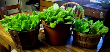 lettuce 01