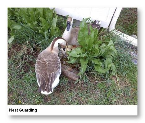 Nest Guarding