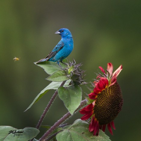 Indego Bunting in Rochester MN by Don Anderson MN-WI-ND Wildlife Photo 2
