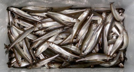 smelt netting -may 6 mouth of lester river- duluth news-trib miranda galey cooler full of smelt 04