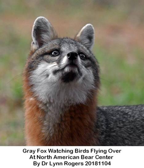 fox gray fox at north american bear center by dr lynn rogers caption 20181104